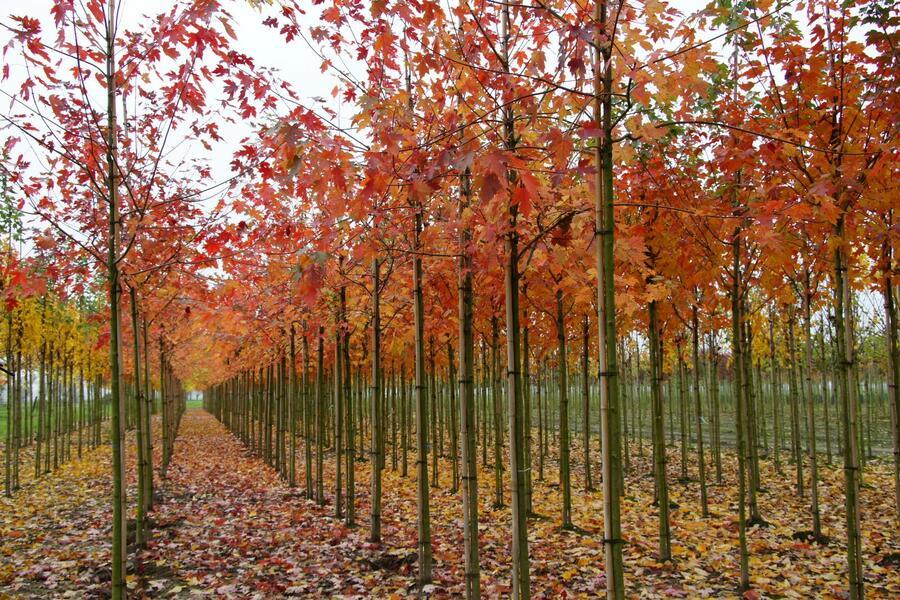 Javor Freemanův 'Autumn Blaze' - Acer freemanii 'Autumn Blaze'
