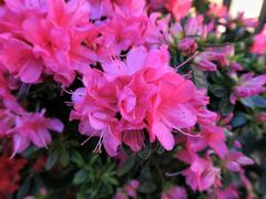 Azalka japonská 'Isabel' - Azalea japonica 'Isabel'