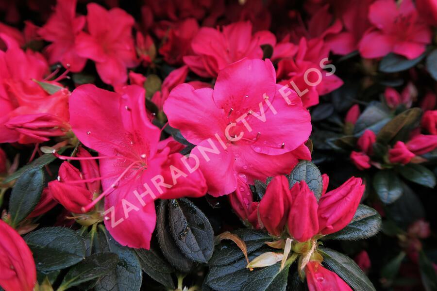Azalka japonská 'Arabesk' - Azalea japonica 'Arabesk'