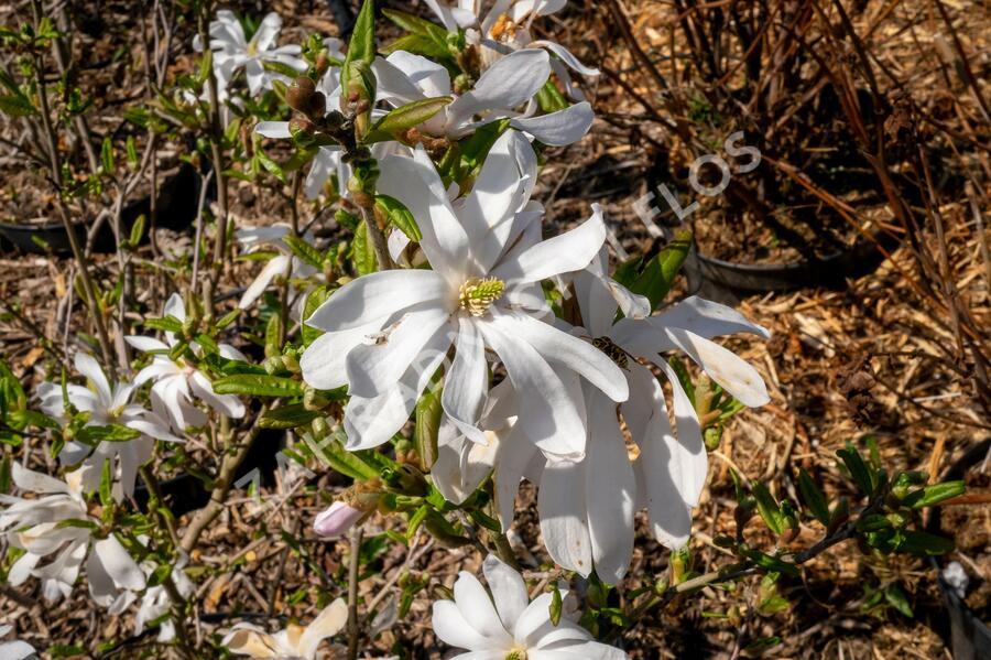 Šácholan hvězdokvětý - Magnolia stellata