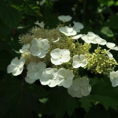 Hortenzie dubolistá - Hydrangea quercifolia