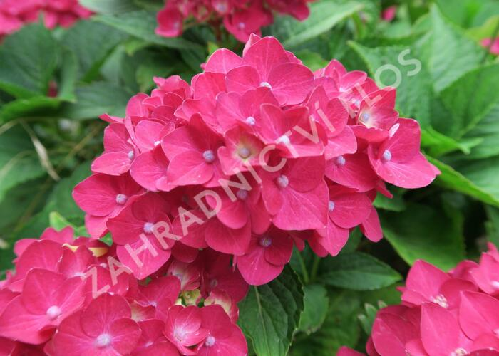 Hortenzie velkolistá 'Masja' - Hydrangea macrophylla 'Masja'