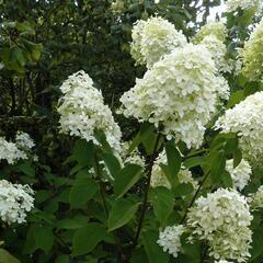 Hortenzie latnatá 'Limelight' - Hydrangea paniculata 'Limelight'