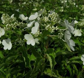 Hortenzie latnatá 'Levana' - Hydrangea paniculata 'Levana'