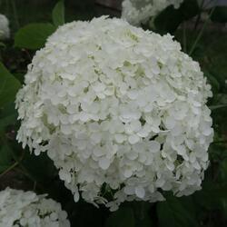 Hortenzie stromečkovitá 'Annabelle' - Hydrangea arborescens 'Annabelle'