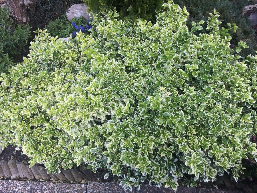 Brslen Fortuneův 'Emerald Gaiety' - Euonymus fortunei 'Emerald Gaiety'