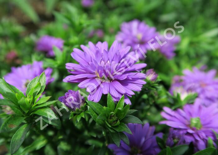 Hvězdnice novobelgická 'Almira Double Purple' - Aster novi-belgii 'Almira Double Purple'