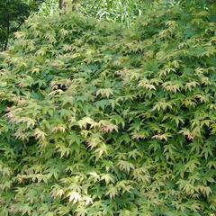 Javor dlanitolistý 'Katsura' - Acer palmatum 'Katsura'