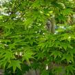 Javor dlanitolistý 'Butterfly' - Acer palmatum 'Butterfly'