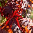 Javor dlanitolistý 'Atropurpureum' - Acer palmatum 'Atropurpureum'