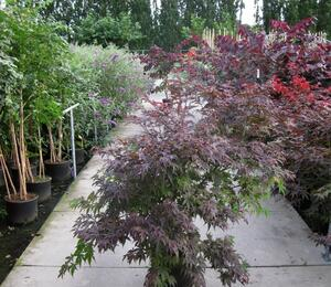 Javor dlanitolistý 'Atropurpureum' - Acer palmatum 'Atropurpureum'
