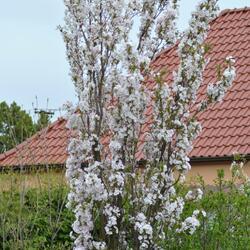 Višeň pilovitá 'Amanogawa' - Prunus serrulata 'Amanogawa'