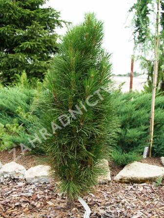 Borovice černá 'Green Tower' - Pinus nigra 'Green Tower'