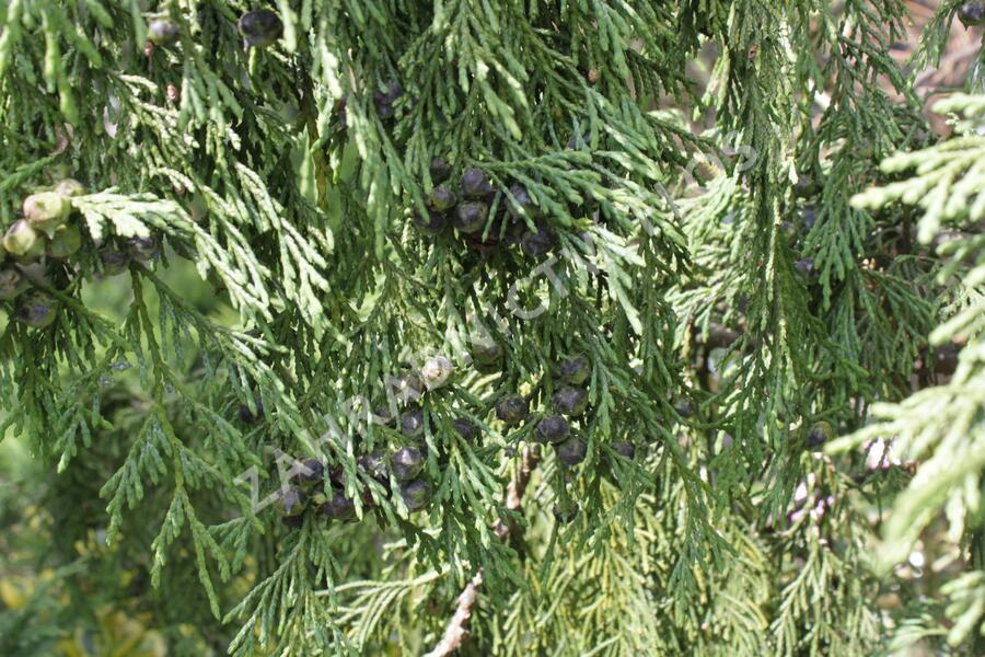 Cypřišek nutkajský 'Pendula' - Chamaecyparis nootkatensis 'Pendula'
