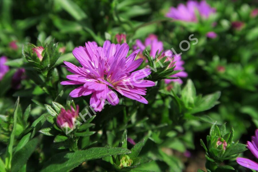 Hvězdnice novobelgická 'Almira Double Pink' - Aster novi-belgii 'Almira Double Pink'