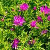 Hvězdnice novobelgická 'Almira Pink' - Aster novi-belgii 'Almira Pink'