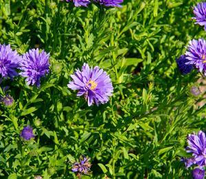 Hvězdnice novobelgická 'Almira Blue' - Aster novi-belgii 'Almira Blue'