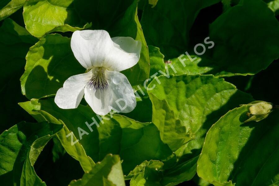 Violka 'Albiflora' - Viola sororia 'Albiflora'