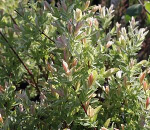 Vrba prostřední 'Hakuro Nishiki' - Salix integra 'Hakuro Nishiki'