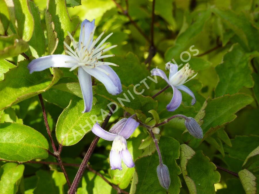 Plamének 'Praecox' - Clematis jouiniana 'Praecox'