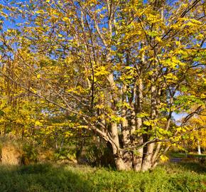 Lapina jasanolistá - Pterocarya fraxinifolia