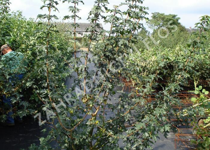 Javor babyka - Acer campestre
