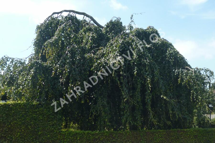 Buk lesní 'Pendula' - Fagus sylvatica 'Pendula'