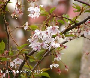 Višeň chloupkatá 'Autumnalis' - Prunus subhirtella 'Autumnalis'