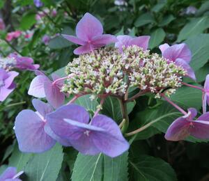Hortenzie velkolistá 'Blaumeise' - Hydrangea macrophylla 'Blaumeise'