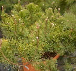 Borovice kleč - Pinus mugo pumilio