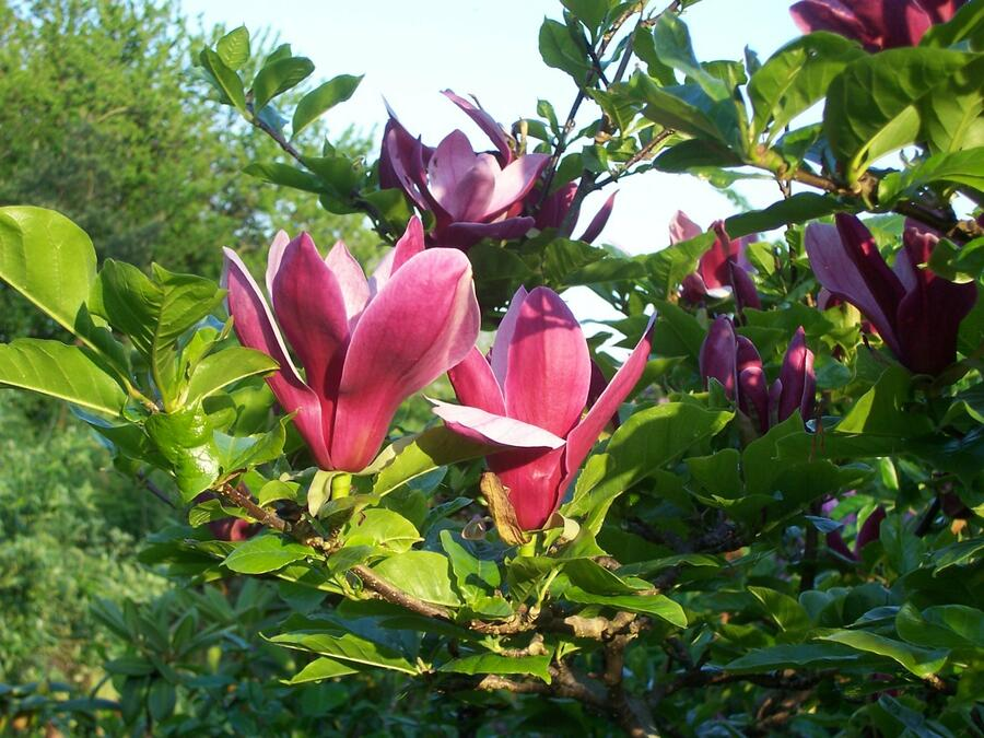 Šácholan liliokvětý 'Nigra' - Magnolia liliiflora 'Nigra'