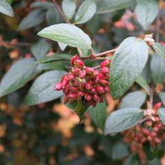 Kalina Burkwoodova - Viburnum burkwoodii