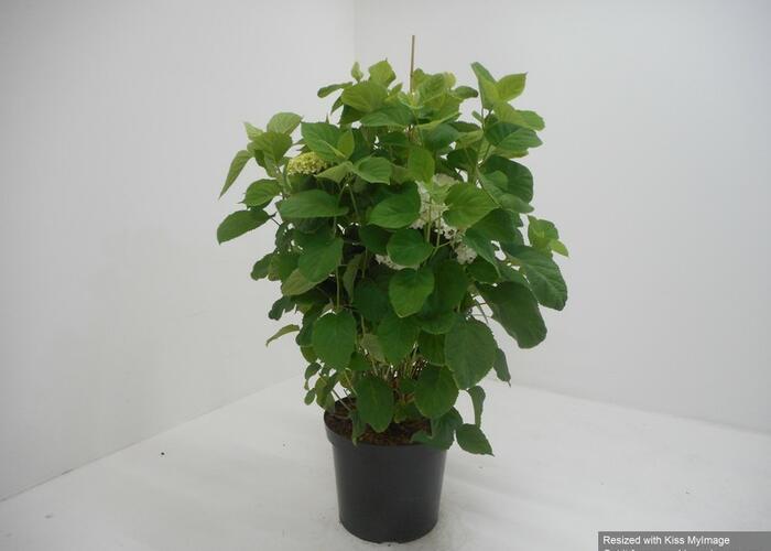 Hortenzie stromečková 'Incrediball' - Hydrangea arborescens 'Incrediball'