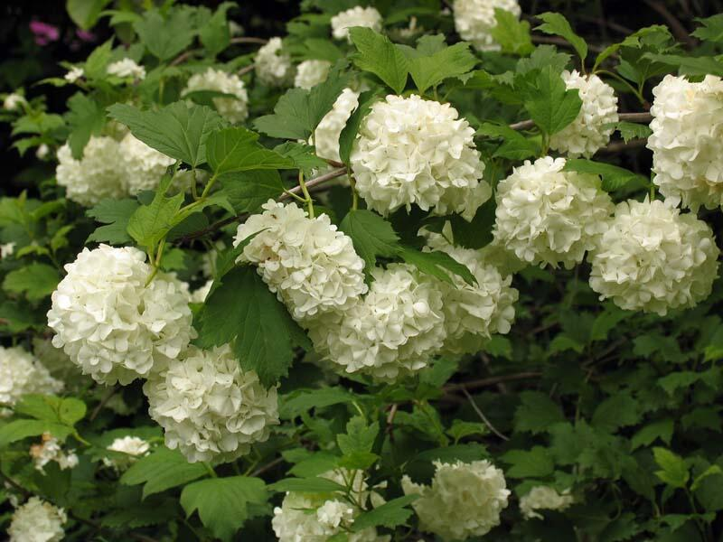 Kalina obecná 'Roseum' - Viburnum opulus 'Roseum'