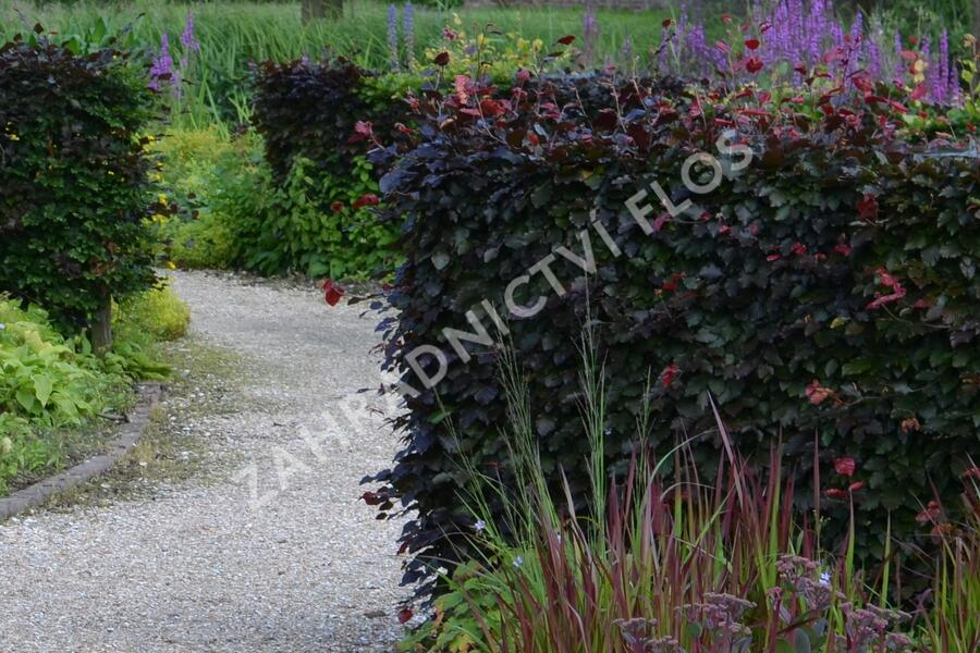 Buk lesní 'Atropurpurea' - Fagus sylvatica 'Atropurpurea'
