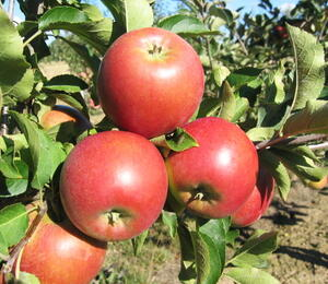 Jabloň zimní 'Rajka' - Malus domestica 'Rajka'
