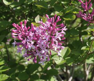 Šeřík malolistý 'Superba' - Syringa microphylla 'Superba'
