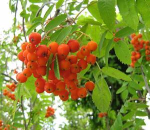 Jeřáb obecný - Sorbus aucuparia