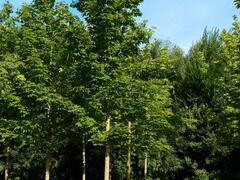 Javor mléč - Acer platanoides
