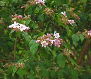 Kolkvície krásná 'Pink Cloud' - Kolkwitzia amabilis 'Pink Cloud'