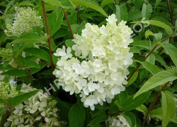 Hortenzie latnatá 'Grandiflora' - Hydrangea paniculata 'Grandiflora'