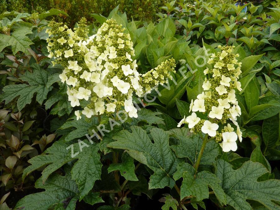 Hortenzie dubolistá 'Snow Queen' - Hydrangea quercifolia 'Snow Queen'