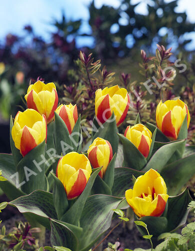 Tulipán Kaufmanniana 'Stresa' - Tulipa Kaufmanniana 'Stresa'