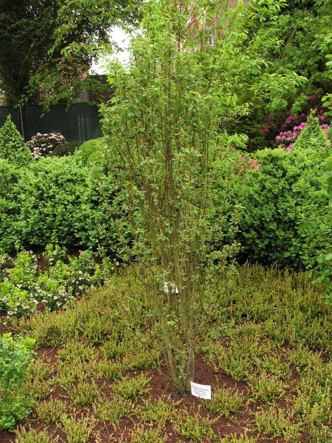 Muchovník olšolistý 'Obelisk' - Amelanchier alnifolia 'Obelisk'