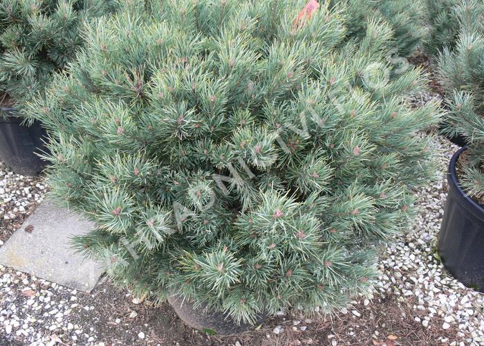 Borovice lesní 'Watereri' - Pinus sylvestris 'Watereri'