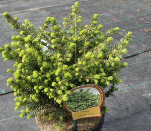 Smrk omorika 'Karel' - Picea omorika 'Karel'