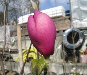 Šácholan 'Black Tulip' - Magnolia 'Black Tulip'