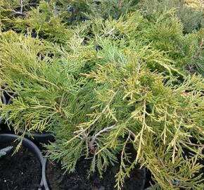 Jalovec chvojka 'Tamariscifolia' - Juniperus sabina 'Tamariscifolia'
