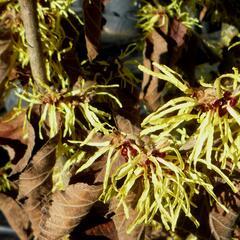 Vilín prostřední 'Pallida' - Hamamelis intermedia 'Pallida'