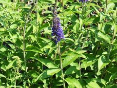 Motýlí keř, Komule Davidova 'Empire Blue' - Buddleia davidii 'Empire Blue'